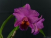Rhyncholaeliocattleya Golden Circle 'Barleen', AM/AOS