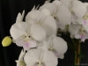 Phalaenopsis Yu Pin Easter Island 'Crystal White', AM/AOS