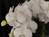Phalaenopsis Yu Pin Easter Island 'Crystal White', AM/AOS