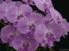 Phalaenopsis Yu Pin Easter Island 'Cotton Candy', AM/AOS