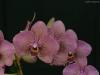 Phalaenopsis I-Hsin Spot Leopard 'SRO-IS1315', HCC/AOS
