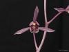 Cymbidium sinense 'Tao Ge', CHM/AOS