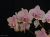 Phalaenopsis I-Hsin Balloon 'SRO-KH6734', HCC/AOS