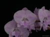 Phalaenopsis Yu Pin Easter Island 'Laura's Valentine', AM/AOS