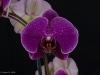Phalaenopsis Leopard Prince 'New Seasons Red', AM/AOS