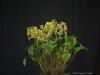 Dendrobium polysema 'Chasus', HCC/AOS