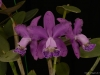 Cattleya Daphne 'Memoria Jennifer Aja-Thresher', AM/AOS