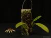 Bulbophyllum acuminatum 'Glencreek', CBR/AOS
