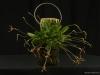 Poroglossum schramii 'Glencreek', CCM/AOS