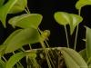 Pleurothallis octavioi 'Glencreek', CBR/AOS