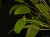 Pleurothallis cypelligera 'Glencreek', CBR/AOS