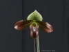 Paphiopedilum Venus Knight 'Mother's Day Magic', AM/AOS