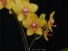 Phalaenopsis Parakeet 'Louise', AM/AOS