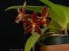 Phalaenopsis Corona 'Memoria Reda Drain', AM/AOS