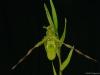 Phragmipedium Praying Mantis 'Green Elf', AM/AOS