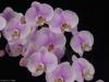 Phalaenopsis Maki Watanabe 'Myrna's Memory', AM/AOS