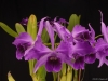 Cattleya purpurata 'Brazilian Thunder', AM/AOS