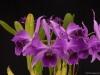 Cattleya purpurata 'Brazilian Thunder', AM/AOS