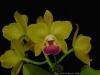 Rhyncholaeliocattleya Memoria Shirley Moore 'Newberry', AM/AOS