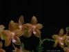Phalaenopsis Ossirah 'Stones River', HCC/AOS