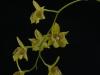 Dendrobium biloculare 'Sweet Sol', HCC/AOS