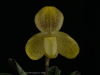 Paphiopedilum concolor 'Chasus', AM/AOS