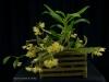 Dendrobium platycaulon 'Sweetbay', CCM/AOS