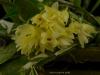Dendrobium platycaulon 'Sweetbay', AM/AOS