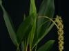 Dendrochilum propinquum 'Swamprad', CBR/AOS
