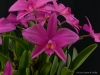 Cattleya Roya Evelyn 'Cathy', AM/AOS