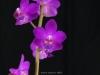 Phalaenopsis pulcherrima 'My Laura', AM/AOS