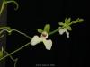 Oeonia rosea 'Rose Gimlet', CHM/AOS