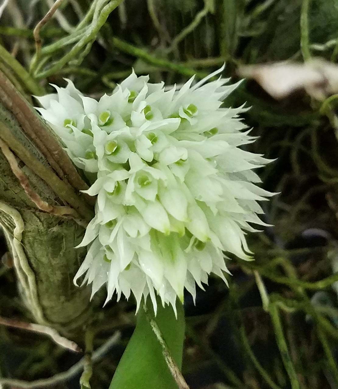 ABG-Dendrobium-capituliflorum