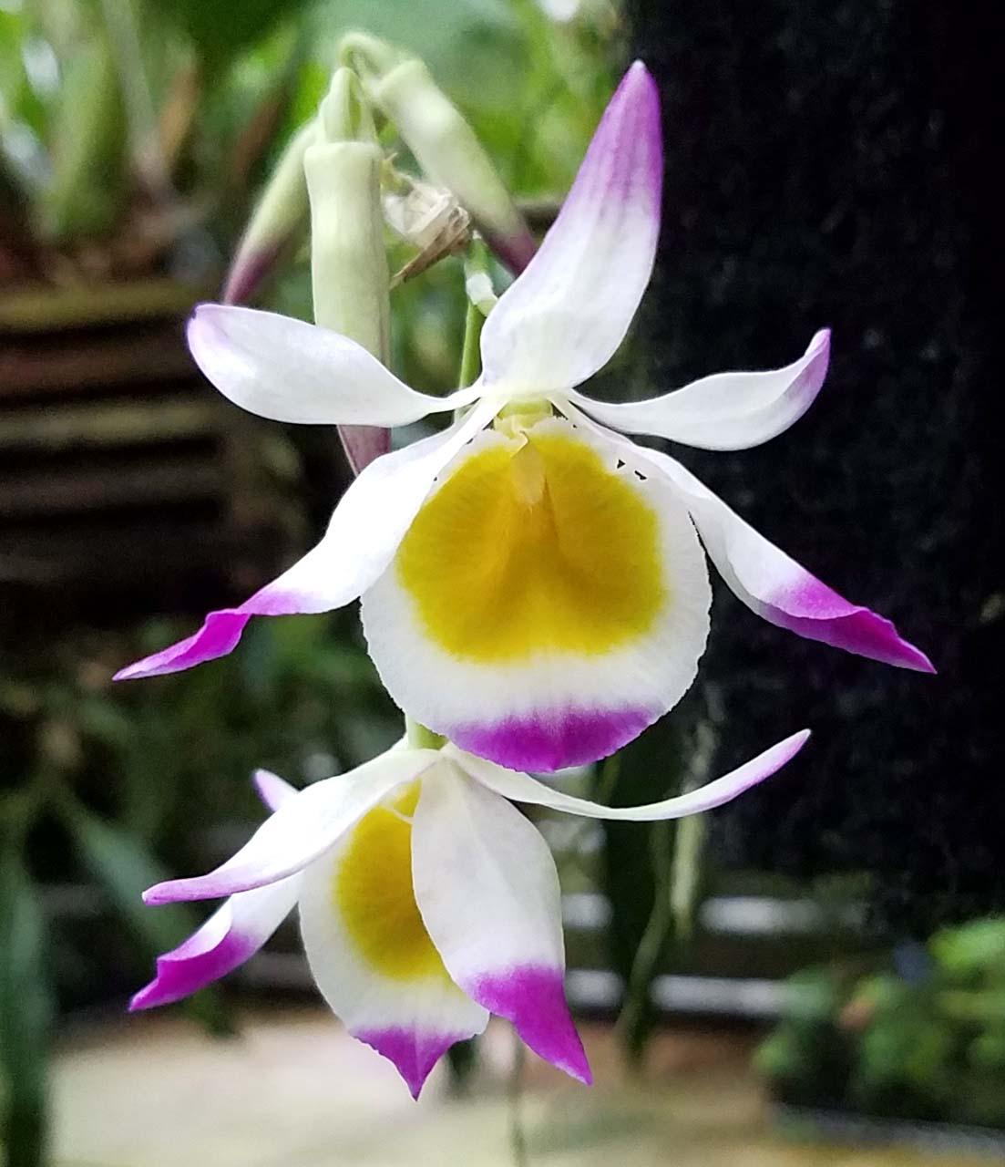 ABG-Dendrobium-crystallinum